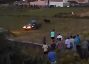 touro-atropelado