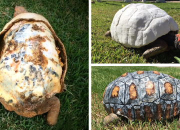 tortoise-3d-printed-shell-freddy-fb